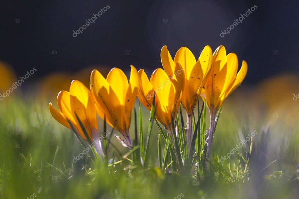 Yellow crocus flowers of spring at early morning london uk stock yellow crocus flowers of spring at early morning london uk stock photo mightylinksfo