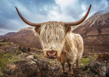 Close up portrait of a Highland Cattle at the Glamaig mountains on Isle of Skye, Scotland, UK