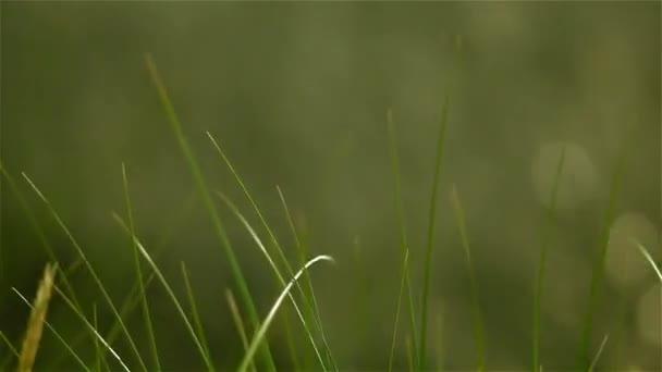 Vlny zelené trávě se větrem