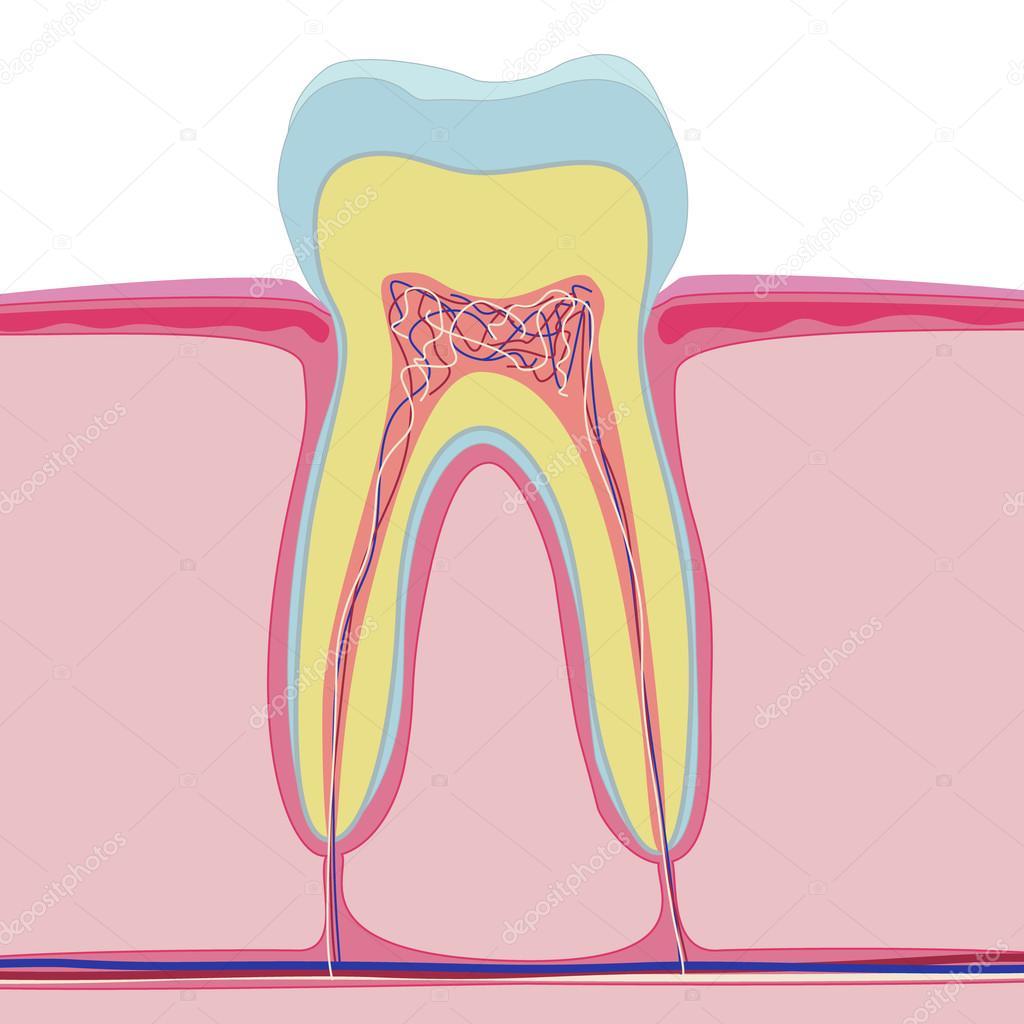 Vector-Struktur des menschlichen Zahnes. Isolierte Anatomie auf ...