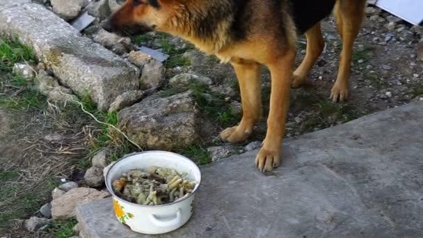 schöner Schäferhund frisst das Essen aus der Pfanne