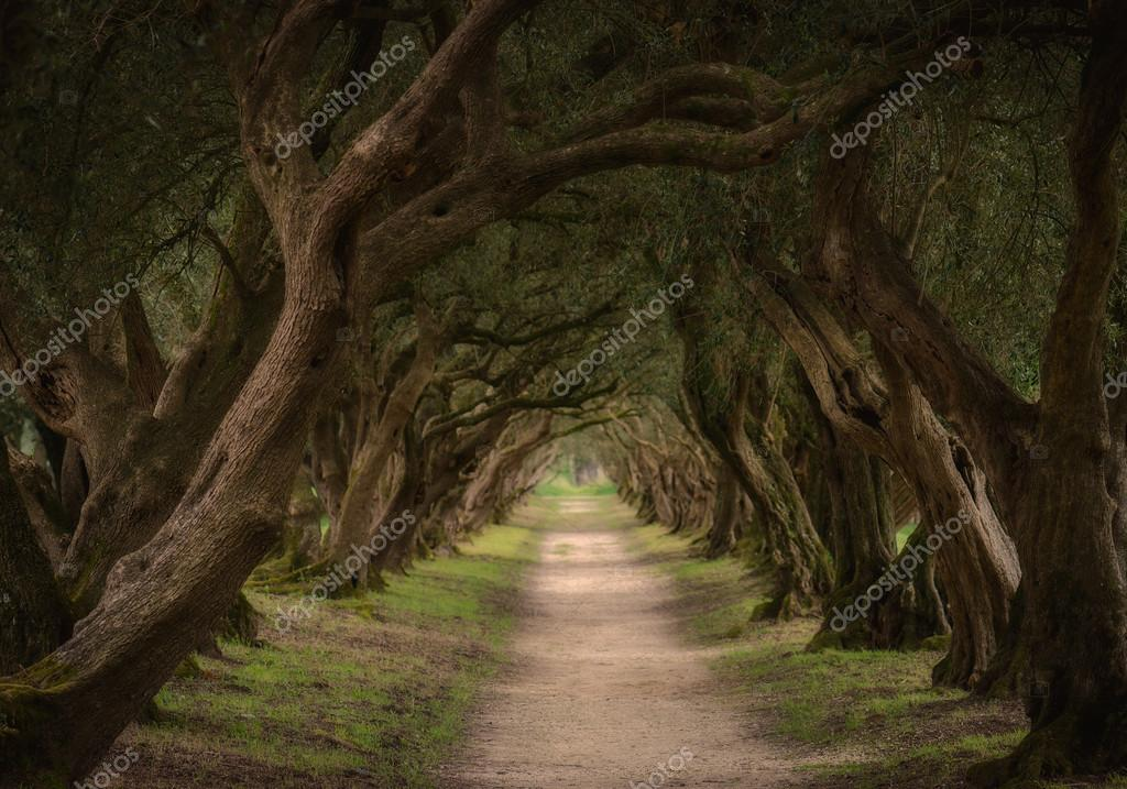 Olive trees tunnel in Spain