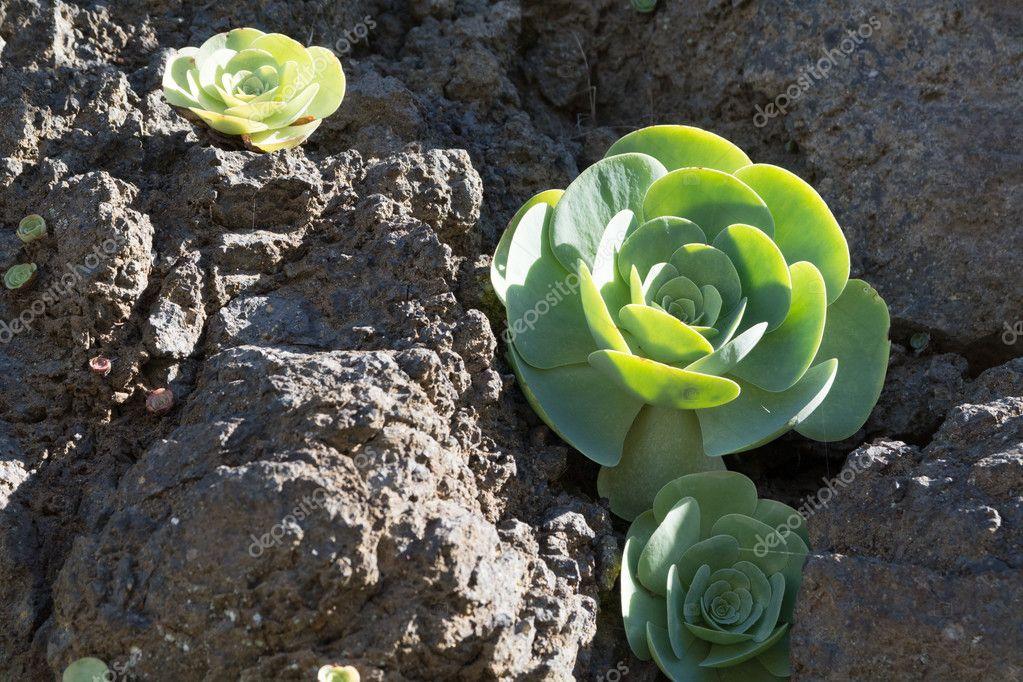 Aeonium diplocyclum, Sempervivoideae