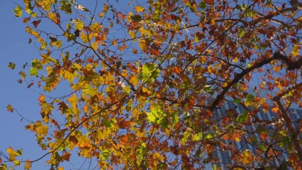 Gyönyörű fa sárga levelekkel egy felhőkarcoló hátterében. Ősz az üzleti központban. A kamera felnéz. Kék ég a háttérben.