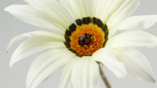 Beruška, černá s červenými skvrnami v květu, pyl