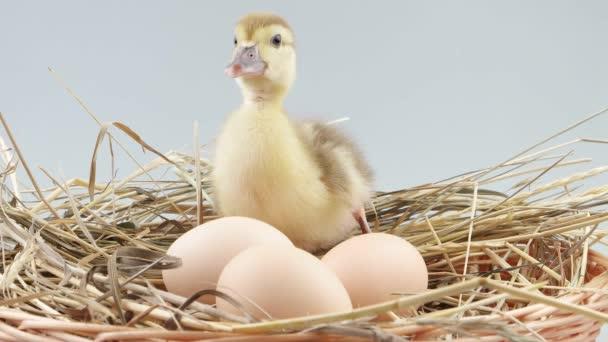 Kiskacsa ül a fészek közelében a tojás és a sikítás