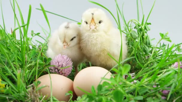 Springtime, two little chickens sitting near egg in green grass