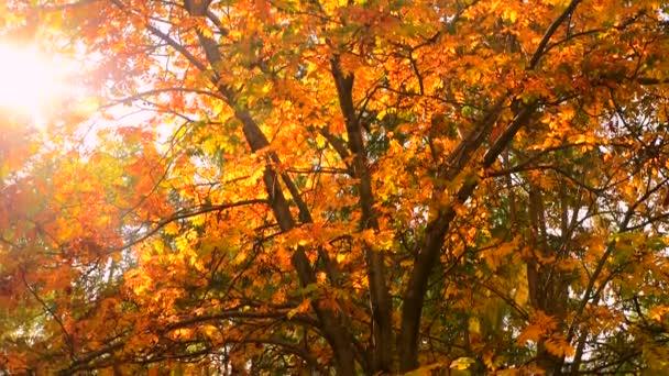 Őszi evezős fa élénk sárga levelekkel a fényes napon. Vörös bogyók. Szezonális időjárás.