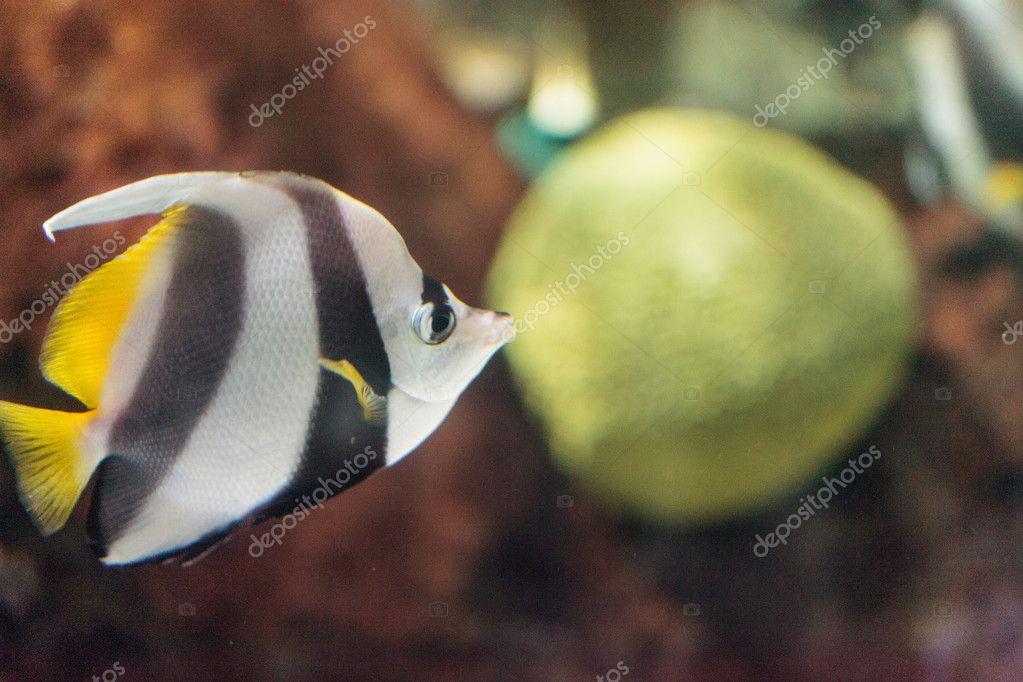 Pennant Butterflyfish Heniochus acuminatus