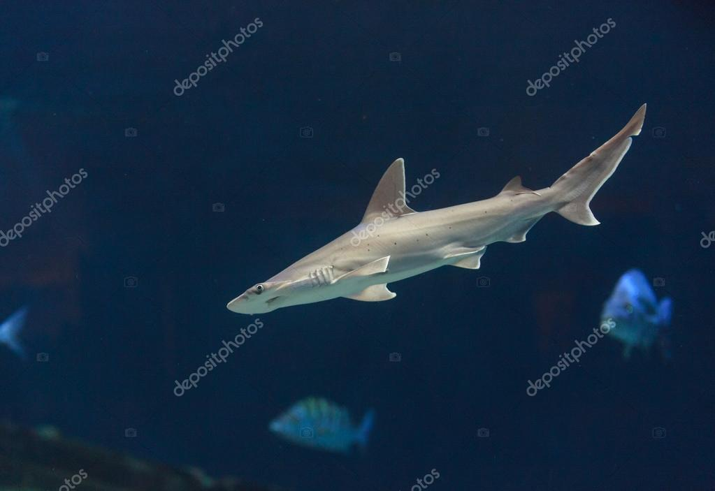 Hammerhead shark swimming