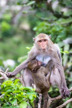 female macaque breastfeed baby
