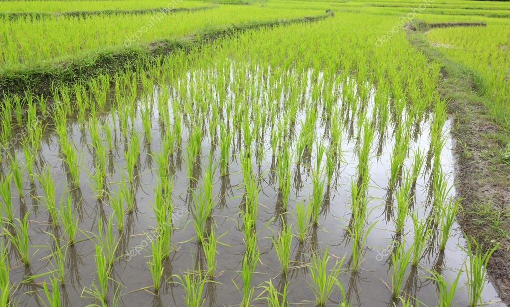 the rice plantation