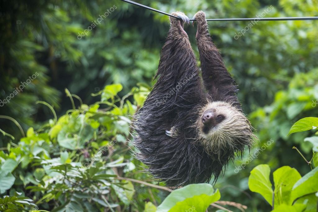 Lazy sloth in Panama