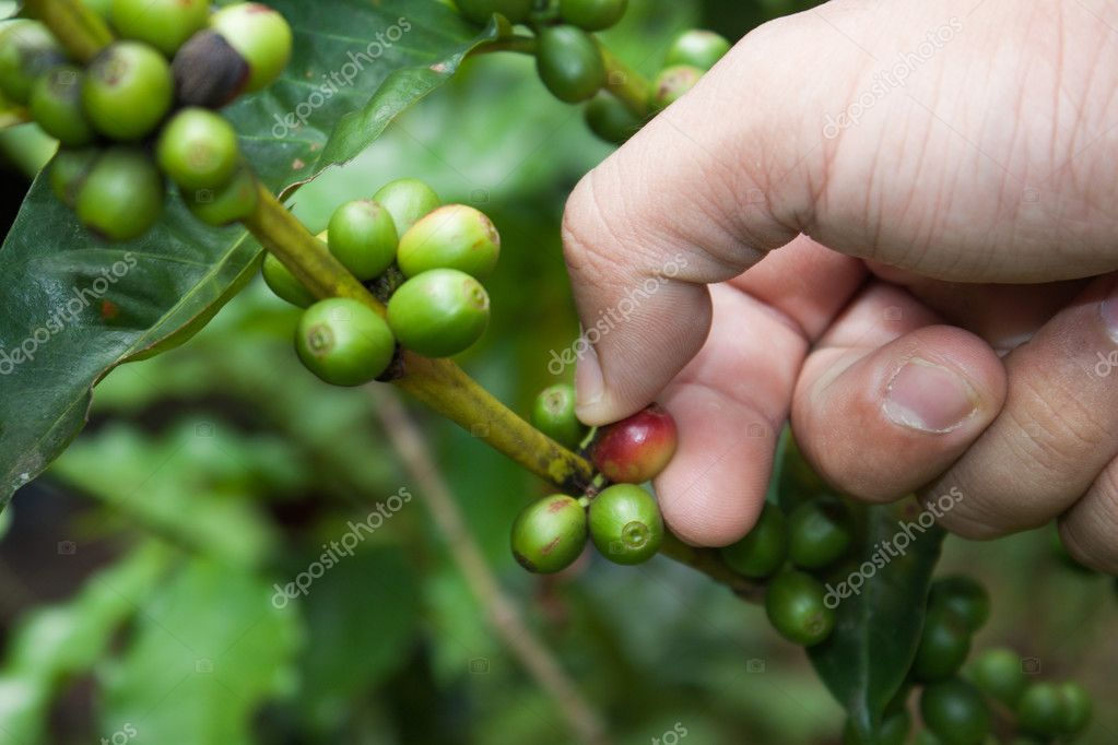 coffee plant with fruits and gardener hand
