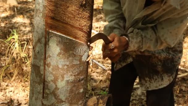 Latex aus einem Naturkautschukbaum anzapfen
