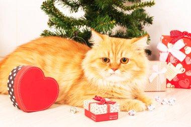 cute persian orange cate and christmas