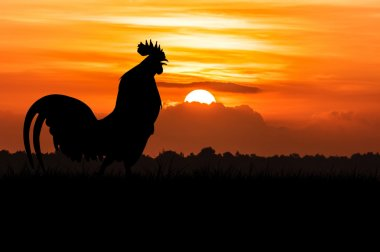 silhouette of Roosters crow on the lawn on orange sunrise backgr