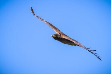Serpent Eagle soaring in the blue sky
