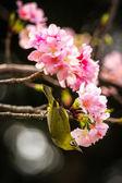 A japanese white-eye bird in Cherry blossoms