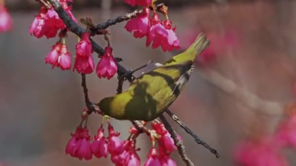 Spring concept: A Japanese white-eye bird in cherry blossoms