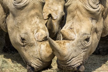 Portrait of Three Rhinos
