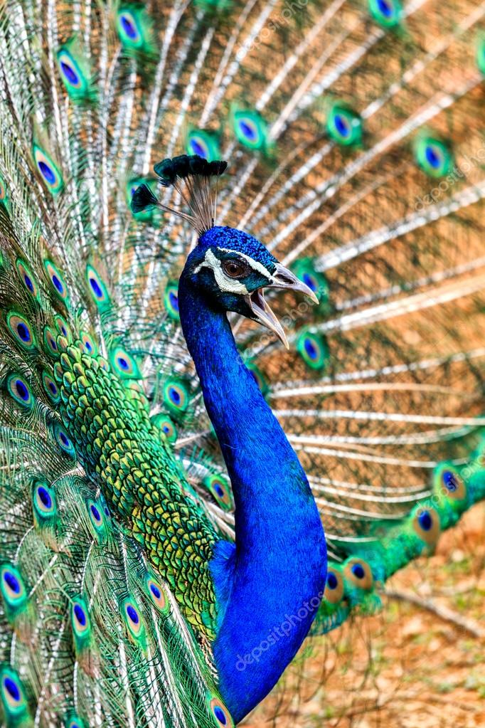 Peacock showing its feathers and singing