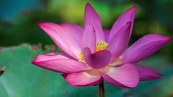 Pink Lotus közelről