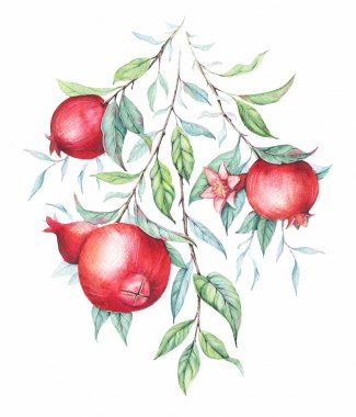 Hand drawn watercolor botanical illustration of pomegranate branch with green leaves isolated on white.