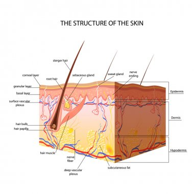 The anatomical structure of the skin