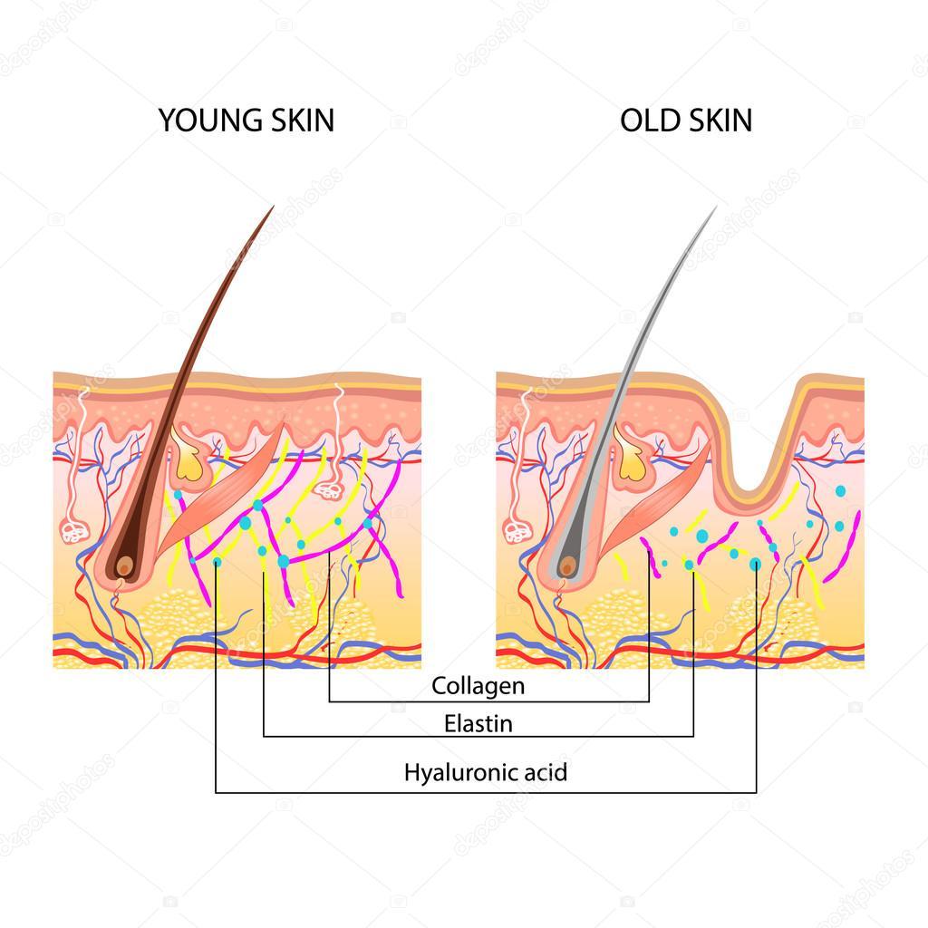 La estructura anatómica de la piel, piel joven y viejo — Archivo ...