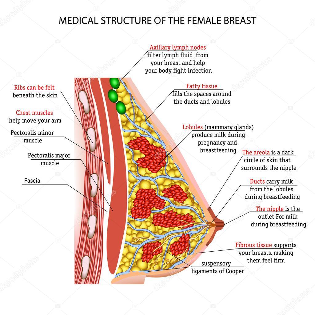 Anatomy Of The Female Breast Implants Stock Vector Elenbushe