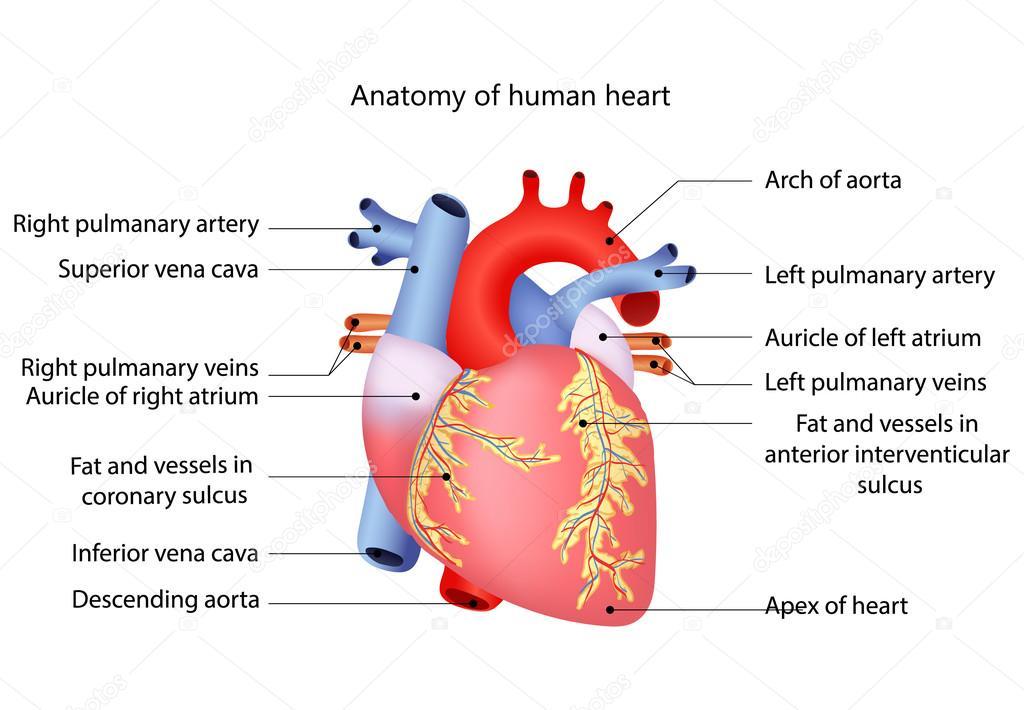 Nett Menschliche Herz Anatomie Diagramm Bilder - Menschliche ...