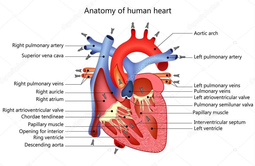 medizinische menschliches Herz — Stockvektor © elenbushe.gmail.com ...