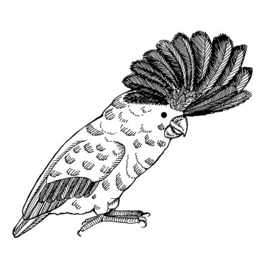 Parrot with pappus