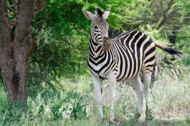 Zebra 3/4 left