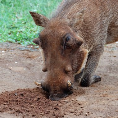 Warthog digging with snout