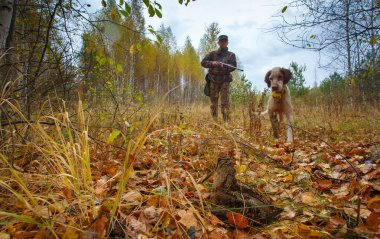 Hunting for a woodcock with an English setter.