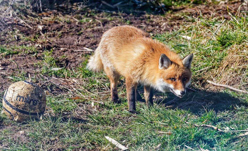 Fuchs Mit Fußball Im Garten Stockfoto Dafyddapw 104123162