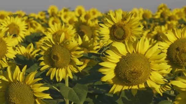 Záběrem krásné slunečnice pole s včely na květech žluté sutset světla