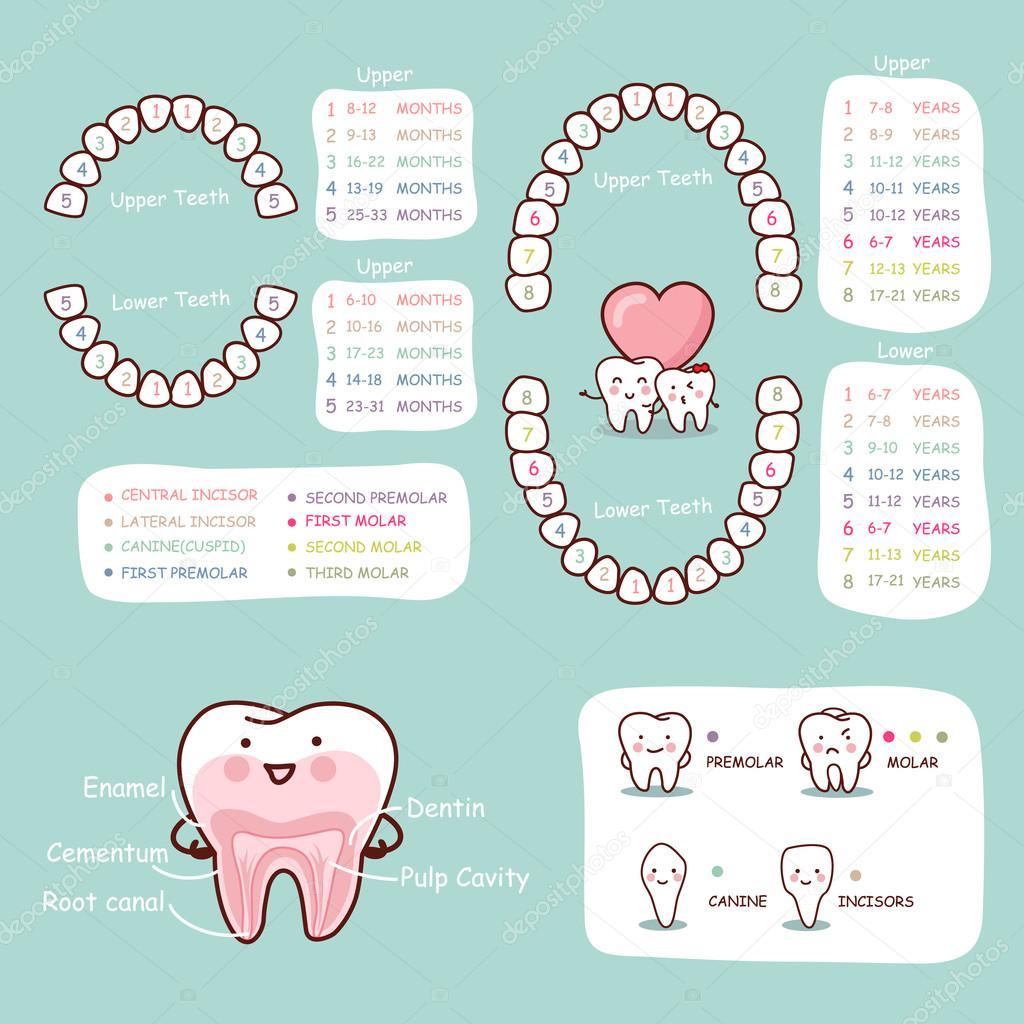Carta de la anatomía de dientes humanos dibujos animados — Archivo ...