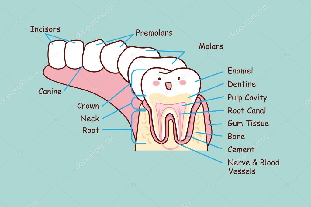 human dental anatomy tooth — Stock Vector © etoileark #106421994