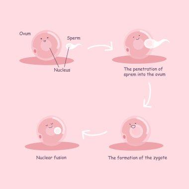 ovum and sperm pregnancy process