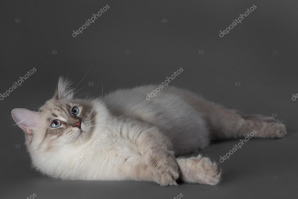 Kot Z Niebieskimi Oczami Zdjęcie Stockowe Renat2025mailru