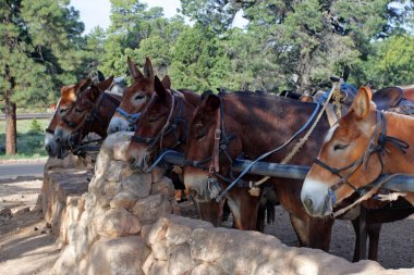 Mule at the Grand Canyon National Park