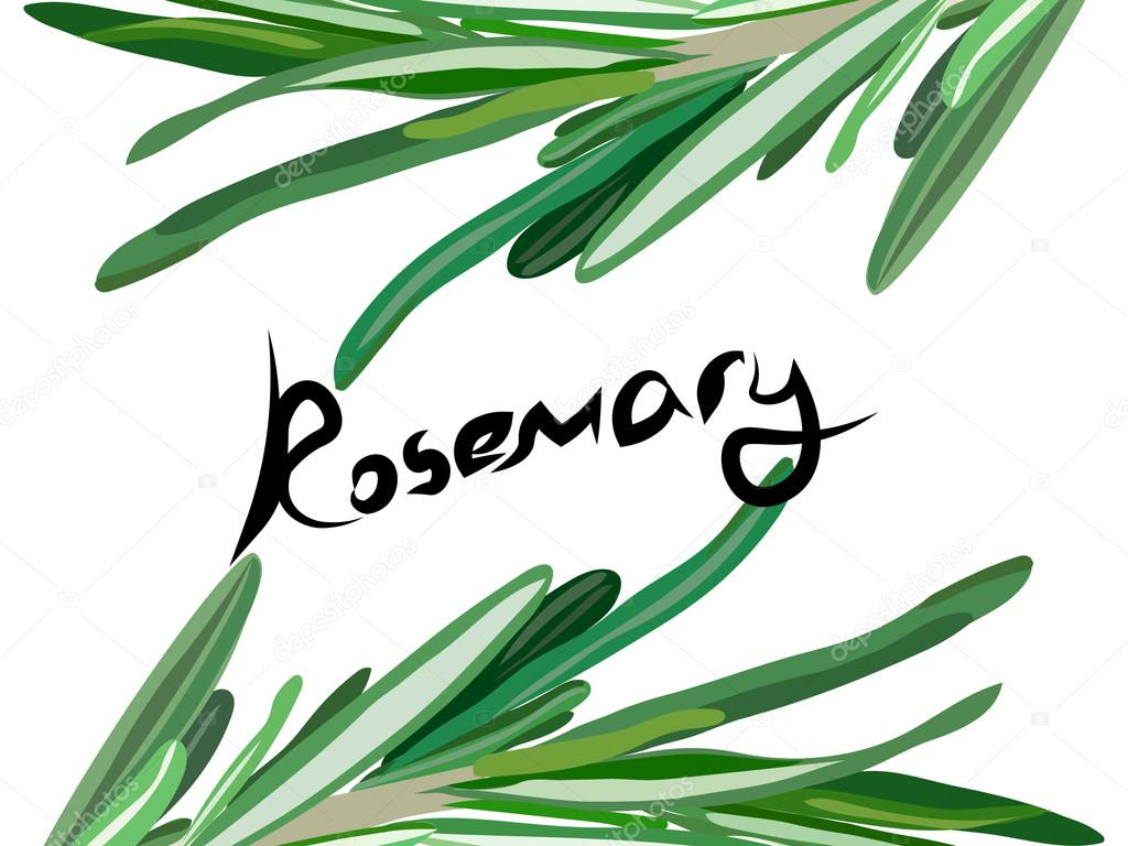 rosemary background. Useful green herbs. delicious seasoning. tasty flavoring for food. Vector illustration