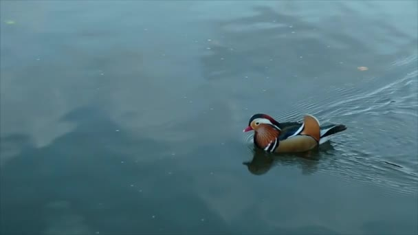 Duck Swims in Water