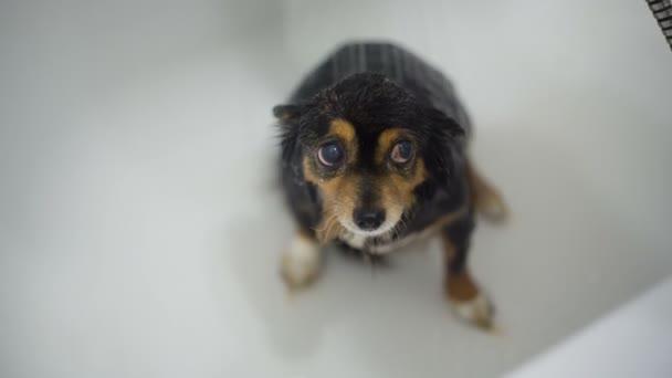 Kleiner Hund nach dem Baden