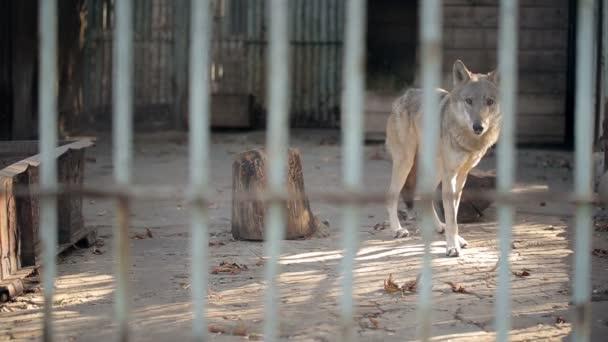Šedý vlk v kleci