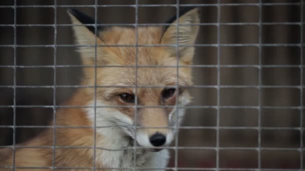 Fox In A Cage
