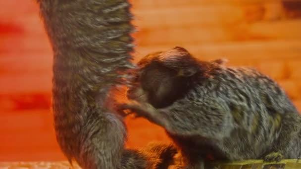 Little Monkey Seeking Fleas